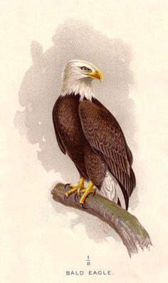 Bird Bald Eagle Mature Beautiful 1897 Antique Print | eBay