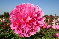 Mme.Emile Debatène (F Dessert-Doriat 1927). Kräftig rosa, dicht gefüllt, Rosentyp, wüchsig und reichblühend, zart duftend. Blütezeit: Mitte Mai.