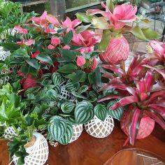 Woow 100 kokedamas are heading to Surabaya city  Tunggu apalagi guys segera di order. Edisi Natal dan tahun baru dengan kokedama yg menyala-nyala  See our latest and beautiful collection in our catalogue @creative.kokedama #jual #kokedama #kokedamaindonesia #kokedamas #kotabatu #batumalang #greenarchitecture #kotawisatabatu #urban #urbangardening #urbanfarming #decor #nature #love #cool #cute #hot #moderngarden #gardening #future #life #fresh #healthy #decor #save #earth…