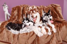 Hnedá deka s motívom husky Husky, Laundry, Decor, Laundry Room, Decoration, Decorating, Husky Dog, Laundry Rooms, Deco
