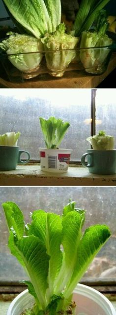 To regrow romane lettuce plant the heart.