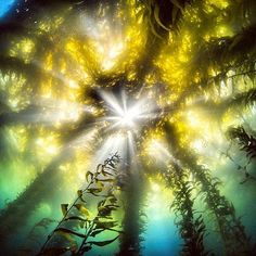 """Solarpowered kelp forests are recognized as one of the most productive and dynamic ecosystems on Earth. It appears they're also among the most photogenic. It's all about perspective. """"It's not what you look at that matters, it's what you see."""" - Thoreau"""