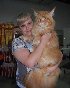 Maine Coon--what a beauty! This is a big Cat!