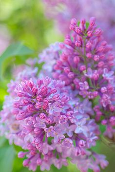 Lilacs. The scent and sight of lilacs will always remind me of my angel, my great grandmother.<3