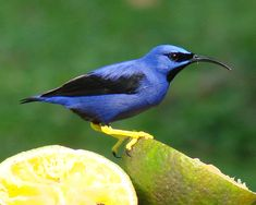 Purple Honeycreeper Birds And The Bees 2 Small Little