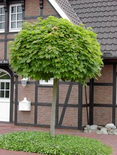 Acer platanoides 'Globosum' grafted onto standard Small Front Gardens, Small City Garden, Amazing Gardens, Beautiful Gardens, Shady Tree, Little Gardens, Plantation, Garden Paths, Shrubs