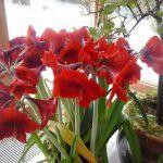 10 csodás virág a húsvéti dekorációhoz – Balkonada Amarillis, Cactus, Aloe, Plants, Gardening, Flowers, Tulips, Succulents, Lawn And Garden