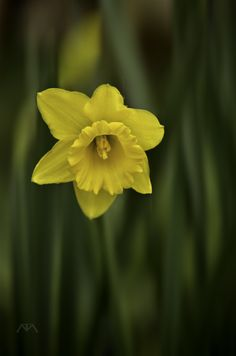 as Smart ObjecRose yellow daffodilst by matar Tariq on 500px