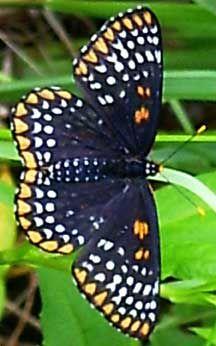 Baltimore Checkerspot, Euphydryas phaeton  Host plants: Turtleheads, false foxgloves, plantain, white ash Nectar plants: Lobelia, purple coneflower, Indian blanket