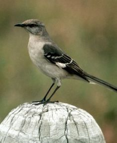 Listen to the bird sounds of the Northern Mockingbird on Almanac.com.