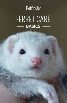 Ferret parents should be responsible for performing regular check-ups on their furry little friends. Track weight, coat-quality and eye clarity to ensure health and prevent illness.