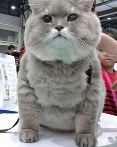 Meet Bone Bone, The Enormous Fluffy Cat From Thailand That Everyone Asks To Take A Picture With   Bored Panda