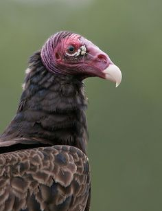 [][][] Turkey Vulture. Order Accipitriformes. Vultures are primarily carrion feeders, without strong talons.