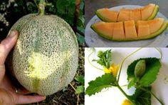 Rockmelon Cantaloupe Cucumis Melo Seeds