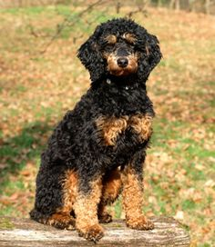 Mittelpudel Kleinpudel black and tan
