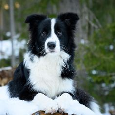 Border Collie Names, Border Collie Puppies, Collie Dog, Border Collies, Cute Dogs And Puppies, I Love Dogs, Doggies, Animals And Pets, Cute Animals