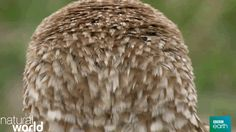 animals nature bbc owl bbc earth natural world symbiosis perfect partners turn head hear gossip trending #GIF on #Giphy via #IFTTT http://gph.is/25a1GuJ