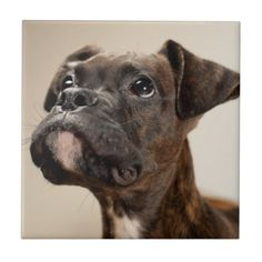 A Brindle Boxer puppy looking up curiously. Tiles