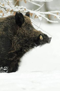 Boar Hunting, Hunting Art, Hog Pig, Hunting Pictures, Wild Boar, Nature Animals, Amazing Nature, Animal Kingdom, Beast