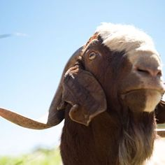 Money the Goat. Front Porch Farm, Sebastopol, CA #NopalizeSeasons