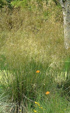 Stipa Gold Fontaene | Knoll Gardens | Ornamental Grasses and Flowering Perennials