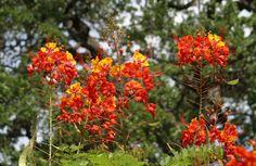 Caesalpinea~ Texas Bird of Paradise,  must find one for my garden. Source: Central Texas Gardener