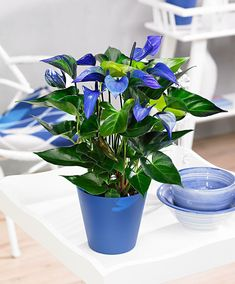 anthurium seed bonsai flower seeds anthurium plant balcony pot 6 colors to choose for home garden Plants With Pink Flowers, Indoor Flowers, Bulb Flowers, Planting Flowers, Flower Plants, Indoor Flowering Plants, Best Indoor Plants, Fruit Plants, Tropical Plants