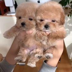 puppies cutest so cute videos - puppies cutest so cute + puppies cutest so cute fluffy + puppies cutest so cute wallpaper + puppies cutest so cute videos + puppies cutest so cute corgi Cute Little Animals, Cute Funny Animals, Funny Dogs, Cute Cats, Cute Little Dogs, Little Puppies, Cute Dogs And Puppies, Adorable Puppies, Doggies