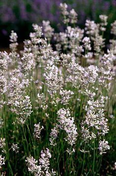 English lavender 'Loddon Pink'