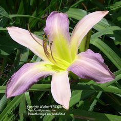 Photo of Daylily (Hemerocallis 'The Thin Air') uploaded by vic