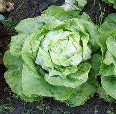 """#Kopfsalat (Lactuca sativa var. capitata)  """"Der Gartensalat (Lactuca sativa) ist eine Pflanzenart der Gattung Lattich (Lactuca) in der Familie der Korbblütler (Asteraceae) und ist unter dem Sammelbegriff Gemüse mit erfasst."""" #vegetables_69_1 #lettuce"""