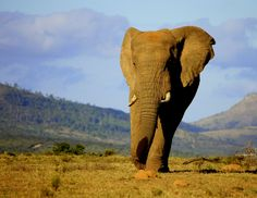 African Elephant at Pumba Private Game Reserve & Spa