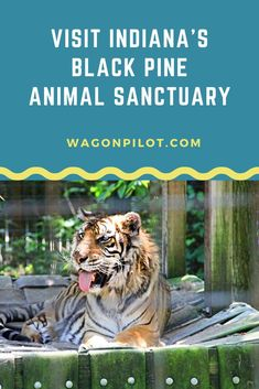 View rescued exotic species at Indiana's Black Pine Animal Sanctuary Tame Animals, Animals And Pets, Wild Animals, Wild Animal Sanctuary Colorado, Wild Animal Rescue, Unlikely Animal Friends, Types Of Monkeys, Animals Black And White, Surviving In The Wild