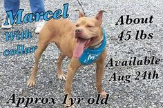 Marcel is an adoptable Pit Bull Terrier Dog in Wytheville, VA. Meet Marcel Male stray from Holston Rd. (Town) Very friendly Young and playful Approx 1 year old Ready for adoption Aug. 24, 2013 276-228...