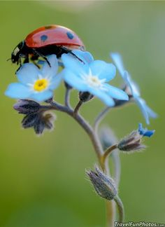 Ladybird or Ladybug On Pretty Blue Forget-Me-Not Flower - Broxbourne, England pinned with - www. Beautiful Bugs, Beautiful Flowers, Beautiful Pictures, Beautiful Creatures, All Gods Creatures, Mother Nature, Scenery, Cute Animals, Illustrations