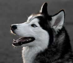"""Siberian Husky - This one's got it all... beauty AND brains. it's intelligence may prove challenging when it comes to command training and confinement to a yard. No two siberian huskies have the same """"mask""""."""
