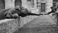 A. Malvern, Reaching Elephant, 1957
