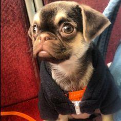 Chihuahua/Pug mix =  <3