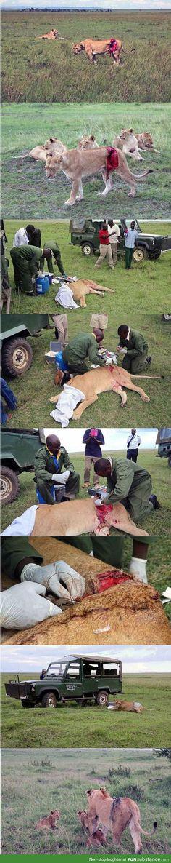 People help an injured lion