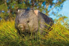 that's it. i need a wombat.
