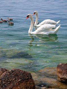 Swans on Lago di Garda Graceful swans -serenity in motion