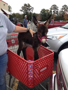 Baby donkey - I didn't know that Tractor Supply sells donkeys!!! Guess where I'm headed...