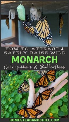 Read along to learn how to attract monarch butterflies to your garden, safely raise monarch caterpillars in an enclosure, and release them as butterflies! Butterfly Garden Plants, Diy Butterfly, Plants That Attract Butterflies, Butterfly House, Monarch Butterfly, Planting Flowers, Flower Gardening, Milkweed Plant, Monarch Caterpillar