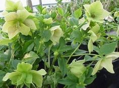 Helleborus-just planted one of these.  They're so beautiful and long lasting.