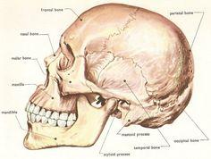 Human Skull Side from David Darling's Internet Encyclopedia of Science