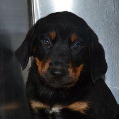 Sunshine, Rottweiler/Lab Mix, 3 months, Female  - Find me on pawschicago.org!
