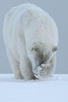 tulipnight: Polar Bear by Laura Keene - Animals - Tiere Bear Photos, Bear Pictures, Cute Animal Pictures, Save The Polar Bears, Baby Polar Bears, Animals And Pets, Cute Animals, Wild Animals, Baby Animals