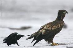 Raven pickin on a Hawk!