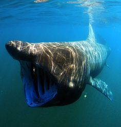 Weighing in at over five tons and measuring up to 33 feet long, basking sharks are the second largest sharks in the ocean (after whale sharks). These gentle giants troll through the water with their cavernous mouths wide open, using 5,000 gill rakers to filter plankton out of 1.5 million liters of water every hour. [article: 10 most bizarre looking sharks on earth]