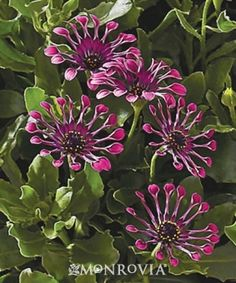 Monrovia's Sunny Elena African Daisy details and information. Learn more about Monrovia plants and best practices for best possible plant performance.